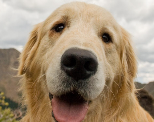 Cute-Golden-Retriever-from-Freerange.png