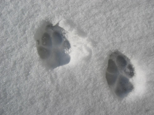 Cat-prints-in-snowcat-prints-in-snow-from-Freerange.png